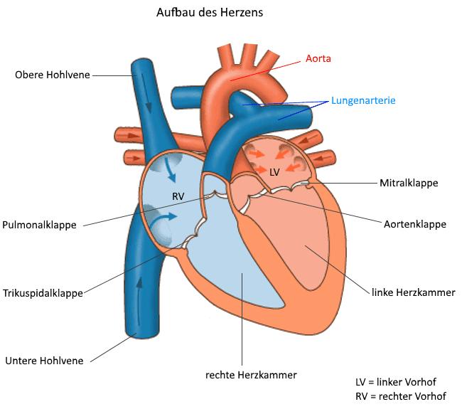 schematische Übersicht der wichtigsten Bestandteile des Herzens
