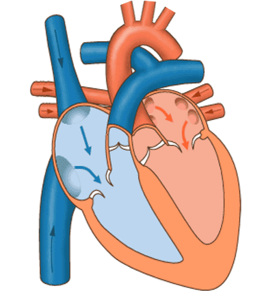 Das Blut fließt aus den Vorhöfen in die Herzkammern
