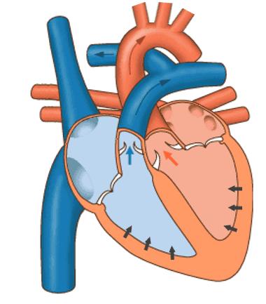 Der Herzmuskel kontrahiert und pumpt das Blut in den kleinen und großen Blutkreislauf